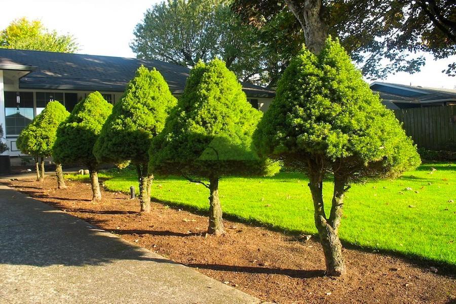 усмирения фото вечнозеленые деревья деревьев буквально